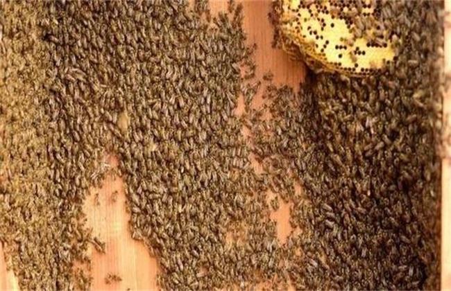 蜂群如何合并双王群