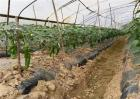 蔬菜生根剂怎么使用