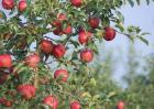苹果树秋冬季该怎么管理?苹果树秋冬季管理技术
