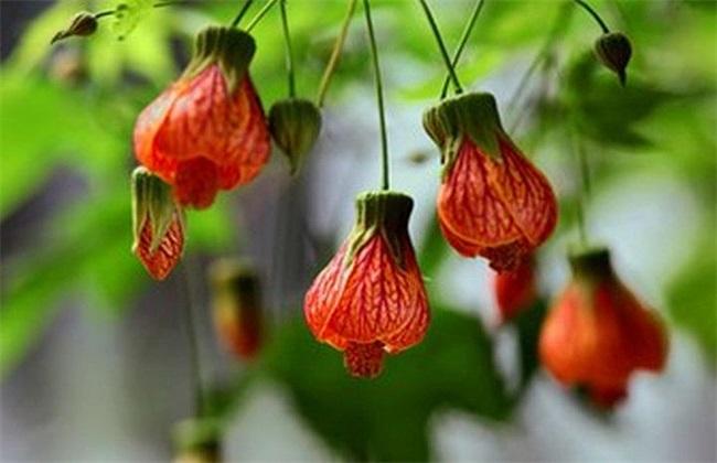 灯笼花叶子蔫 原因 补救措施