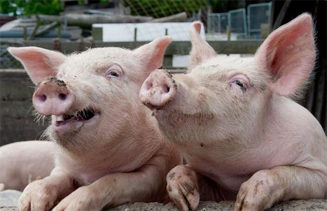 猪呼吸道疾病怎么治疗