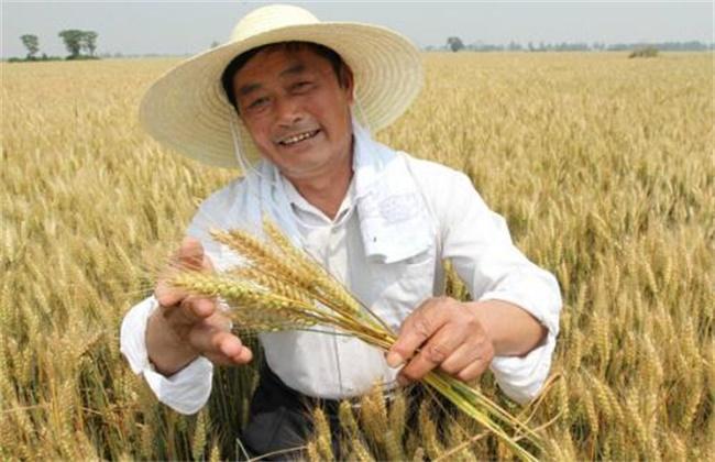 小麦选种方法和技巧