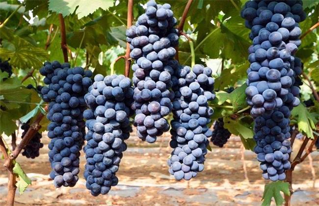 夏黑葡萄 价格 多少钱一斤