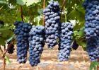 夏黑葡萄价格多少钱一斤