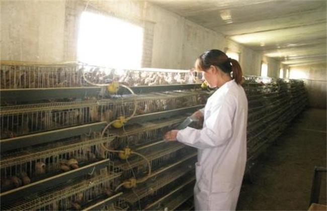 鹌鹑养殖场的消毒方法及注意事项