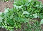 红薯增产施肥方法