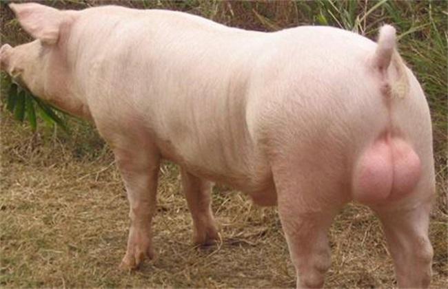 种猪引种需要注意什么?种猪引种注意事项