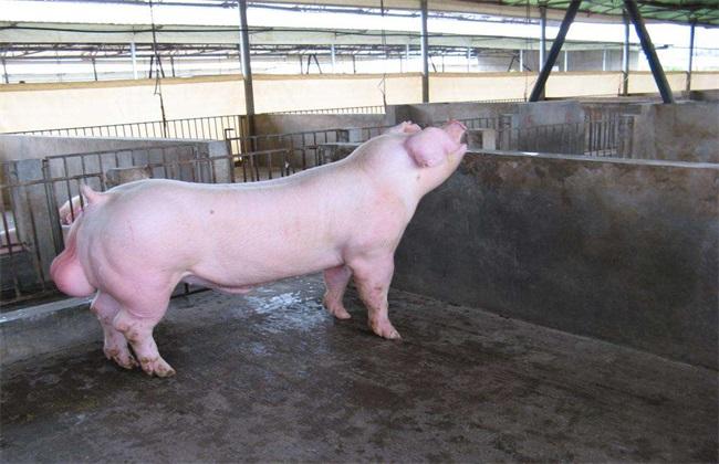 种猪引种注意事项 种猪引种