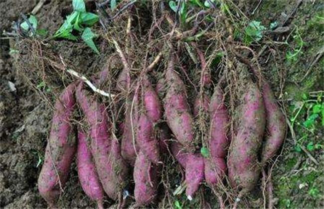 红薯膨大期施肥方法