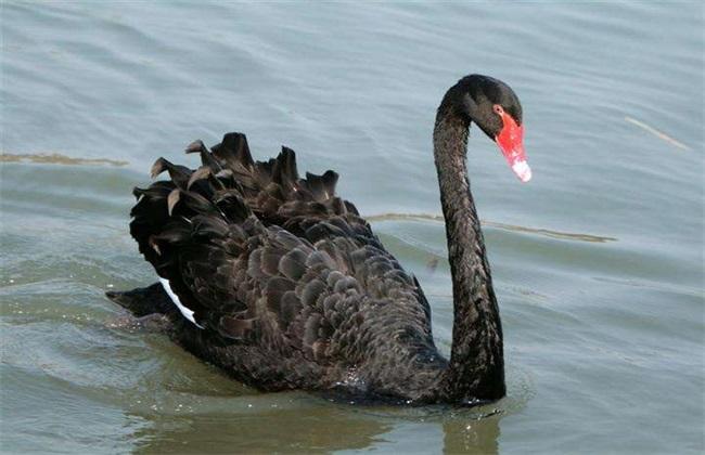 黑天鹅的养殖方法