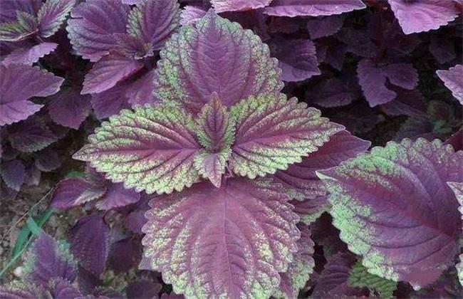 紫苏功效与作用 紫苏的功效