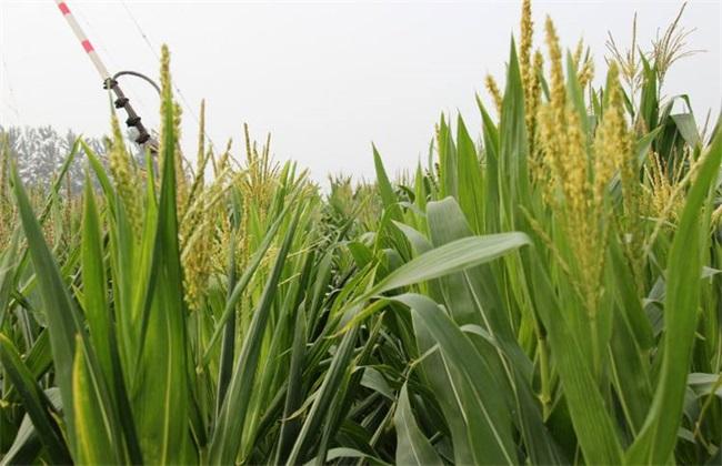 玉米人工授粉 玉米授粉方法