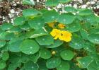 旱金莲叶子发黄是怎么回事