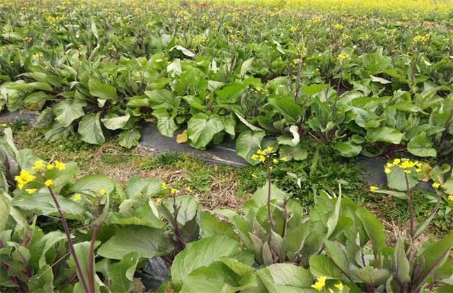 红菜苔高产种植技巧
