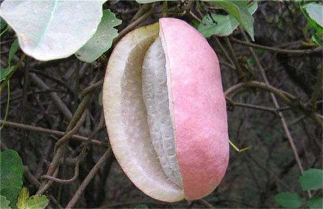 八月瓜繁殖方法 八月瓜繁殖
