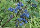 野生蓝莓多少钱一斤