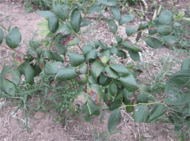 蓝莓叶子发黄干枯原因及解决方法