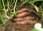 红薯采收和储藏方法