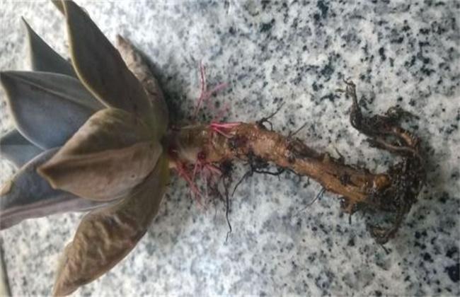 多肉植物烂根怎么办