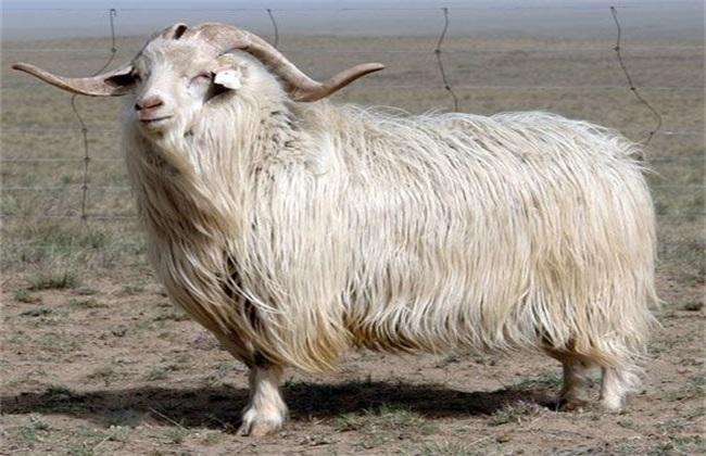 山羊脱毛是什么原因