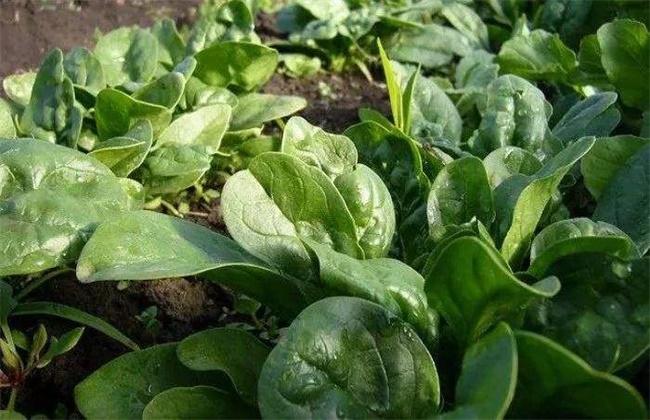 秋菠菜如何提高出苗率