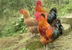 土鸡多少钱一斤