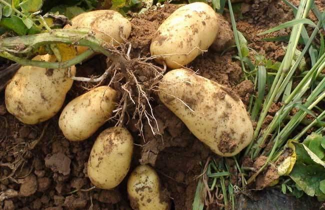 马铃薯结薯少或不结薯原因及预防措施
