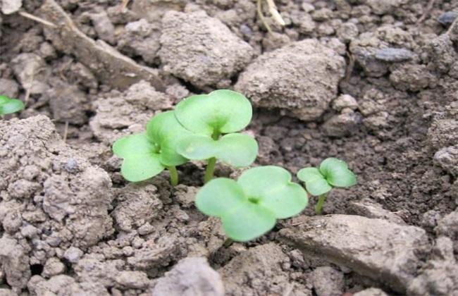 大白菜 肥水管理技术