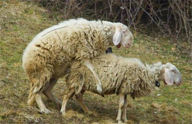 秋季养羊注意事项