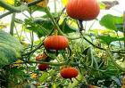 南瓜种植该如何实现高产