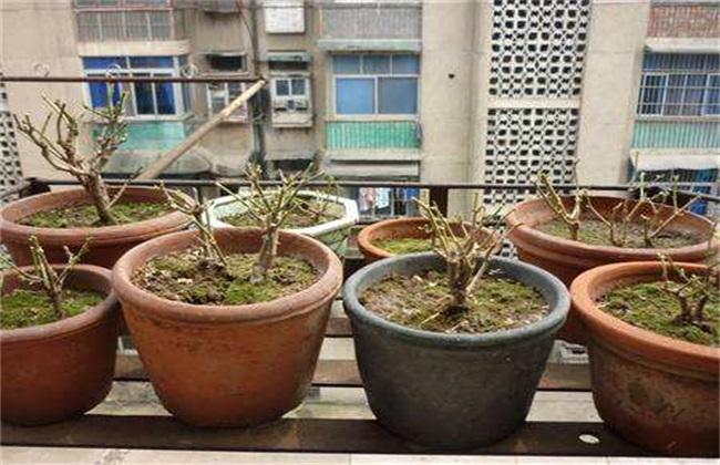盆栽茉莉修剪方法