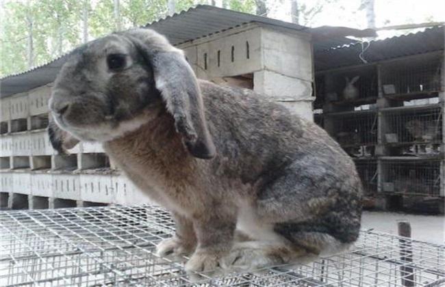 公羊兔养殖技术
