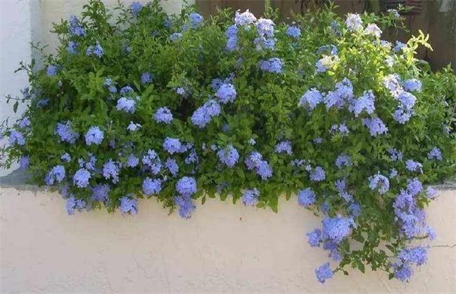 蓝雪花的养殖方法和花期图片