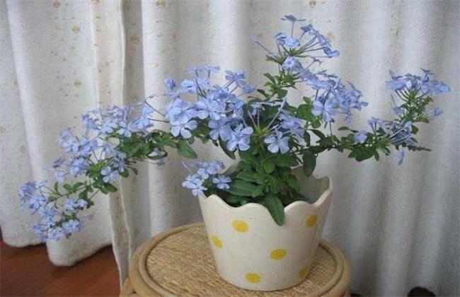 蓝雪花的养殖方法和注意事项盆栽图片