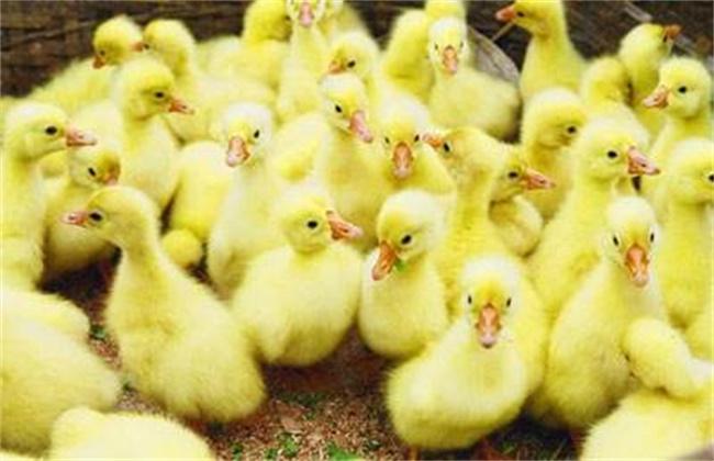 如何提高鹅苗成活率