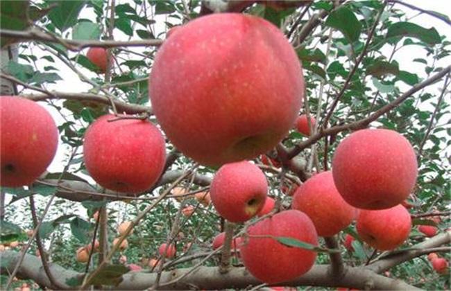 苹果树 花前复剪 复剪技术