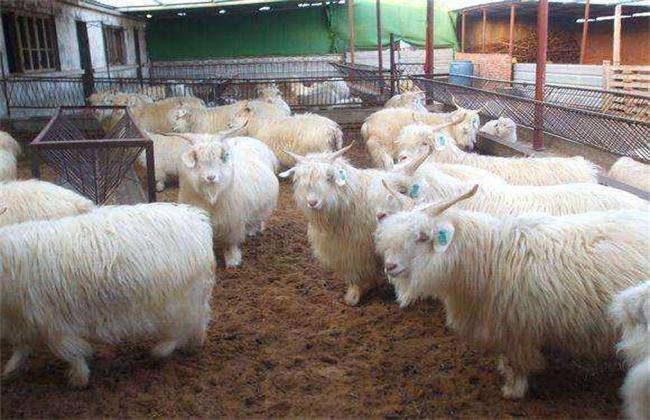 秋季养羊驱虫方法