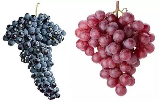 酿酒葡萄和食用葡萄的区别