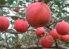 苹果树花前如何复剪?苹果树花前复剪技术