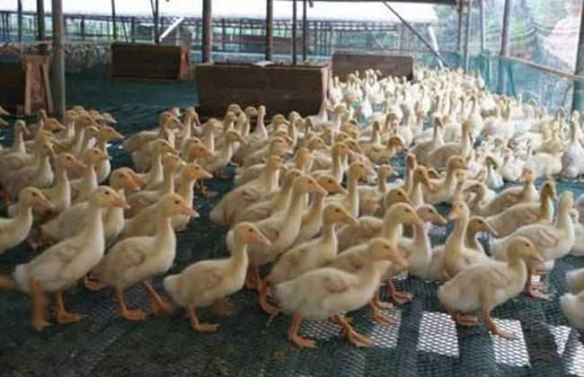 肉鸭养殖如何控料