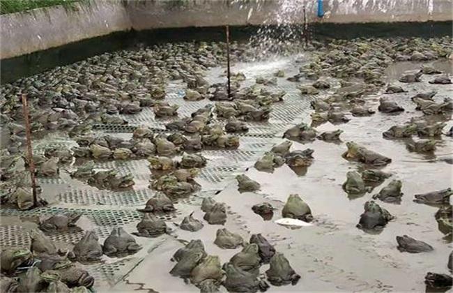 养殖青蛙常见问题