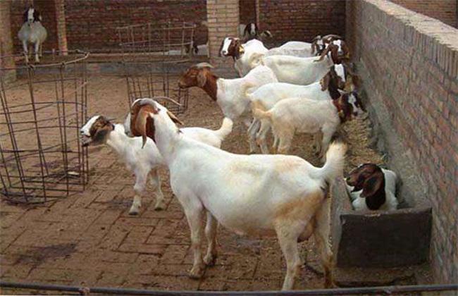 怀孕母羊 饲养管理 孕羊管理