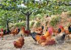 生态养鸡常见问题
