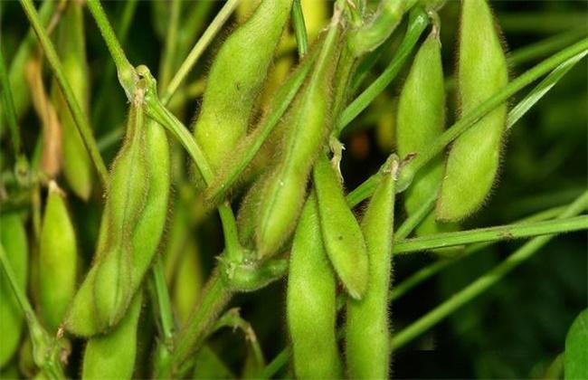 大豆荚不饱满原因口防治措施
