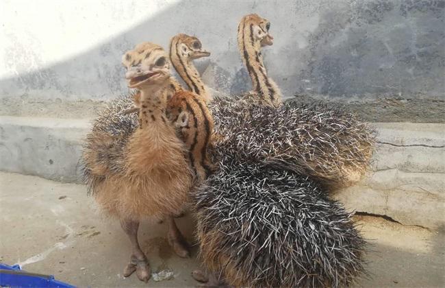 幼鸵鸟 生长环境 生长条件