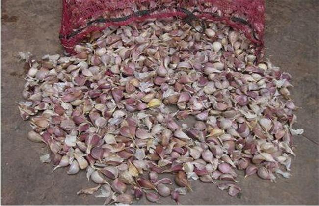 大蒜种植蒜种选择及处理方法