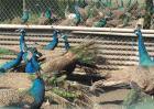 孔雀的饲养环境
