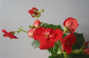 四季海棠怎么养才能开花不断