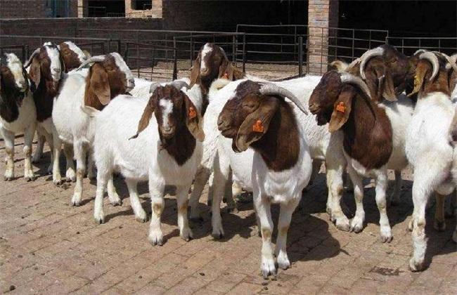 波尔山羊 发情鉴定 山羊发情