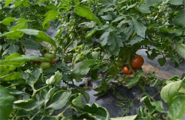 西红柿空穗原因及解决方法